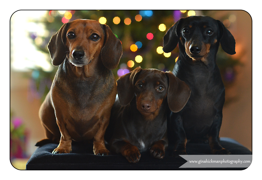 Doxie Christmas Portraits! {Dachshund Pet Photography} | My Doxie Shop